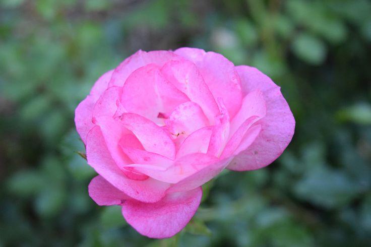 Sunrise Sunset rose in the Easy Elegance series.