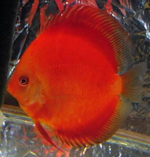 32 best images about fish on pinterest coats finding for Discus fish for sale near me