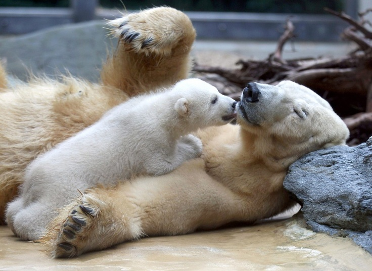 Anori polar bear baby and mum Wilma in Wuperthal Zoo in Germany