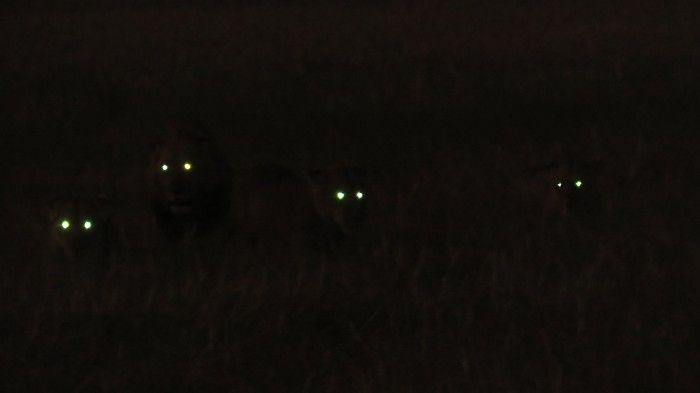 The 'eyes' have it [lions in the Busanga Plains]
