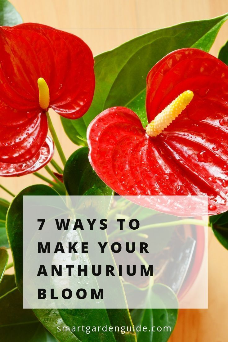 Anthurium Not Flowering 7 Ways To Make It Bloom Smart Garden Guide In 2020 Easy House Plants House Plant Care Anthurium Plant