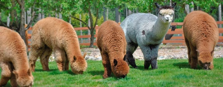 Liberty Alpacas Is An Alpaca Farm Located In Maple Valley Washington Owned By Jeff Lorrie Williamson Alpaca Farm Maple Valley Battle Ground