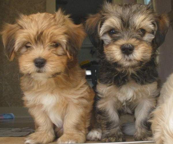 """Havanese Puppies Breed 