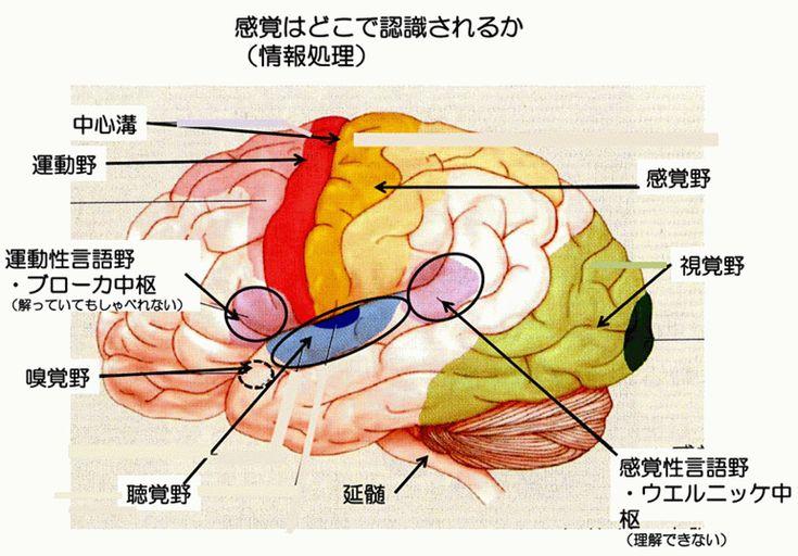 図4 ブローカの中枢を含めた脳機能の局在