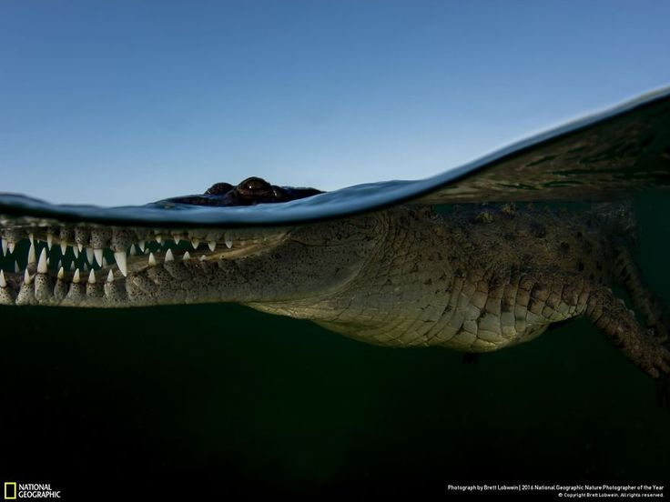 """Crocodile Waterline  """"An American Crocodile on the surface in Gardens of the Queen, Cuba."""""""