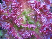 Purple lettuce Images and Stock Photos. 993 purple lettuce photography and royalty free pictures available to download from over 100 stock photo companies. (Page 2)