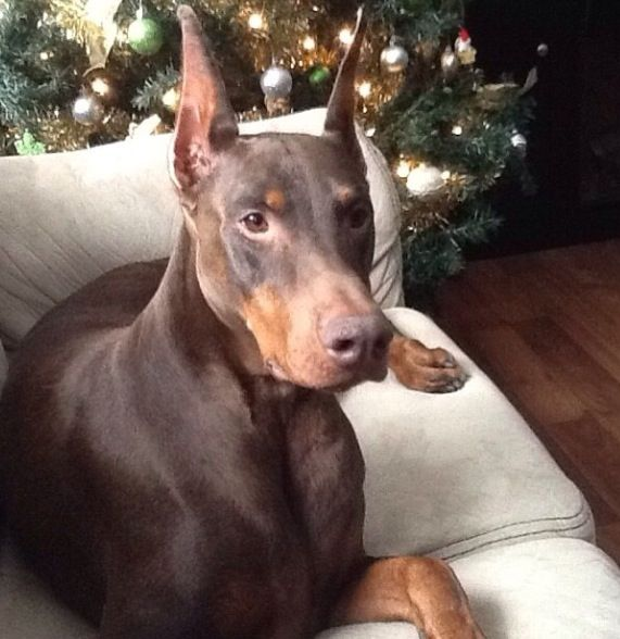 #best #Doberman #dog
