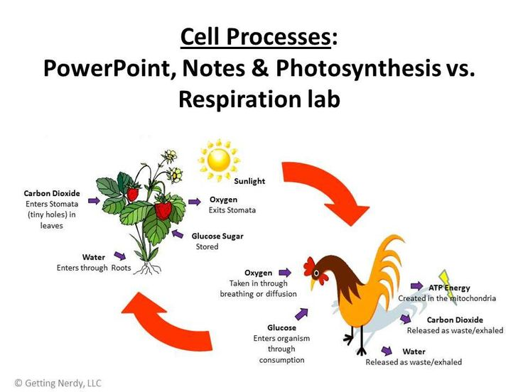 31 best Teaching: Biology - Photosynthesis and Respiration ...