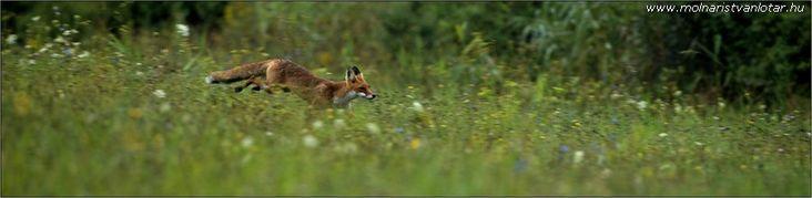 vágtázó vörös róka