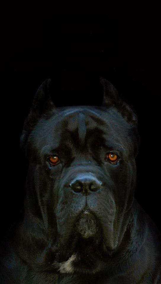 пёс породы кане-корсо