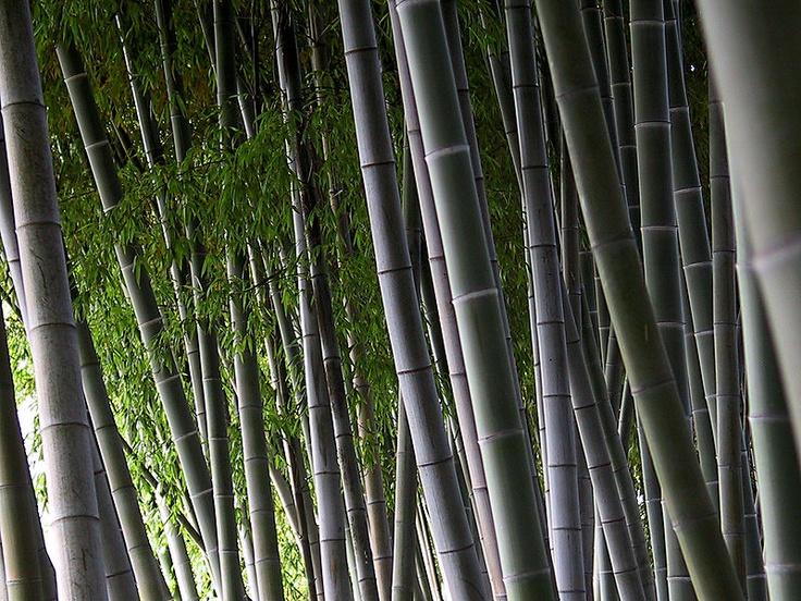 Le bambou facilite la reconstruction du cartilage