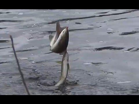 Ловля хариуса / Сразу на два крючка два хариуса / Рыбалка на хариуса