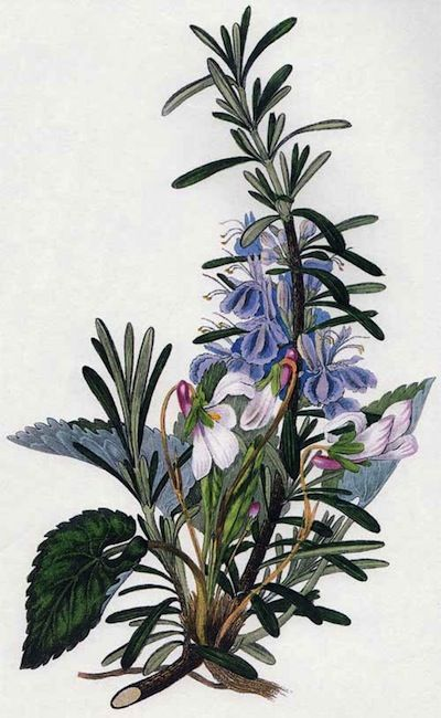 Rosemary and violets - 1833