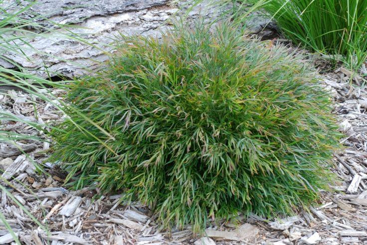 Acacia Mop Top --- For more Australian native plants visit austraflora.com