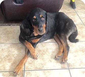 Pictures of Courtesy Post-Harvey a Rottweiler Mix for adoption in Scottsdale, AZ who needs a loving home.