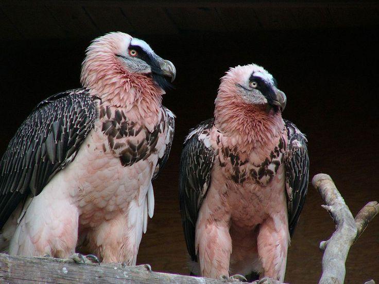 10 faits intrigants qui font du gypaète barbu l'un des oiseaux les plus…