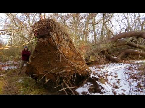 Biggest uprooted tree on Cape Cod? - Cape Cod Online