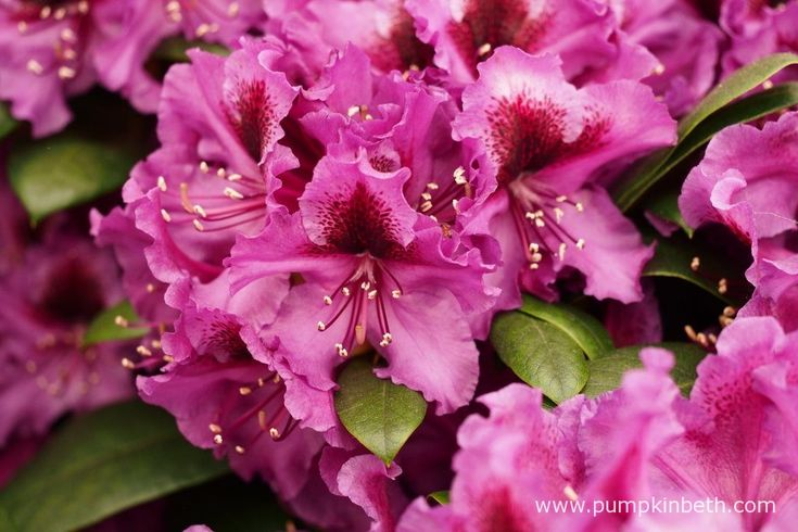 Rhododendron 'Orakel'