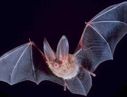 Bat facts- kid friendly website with information all about bats! Perfect for a bat research project