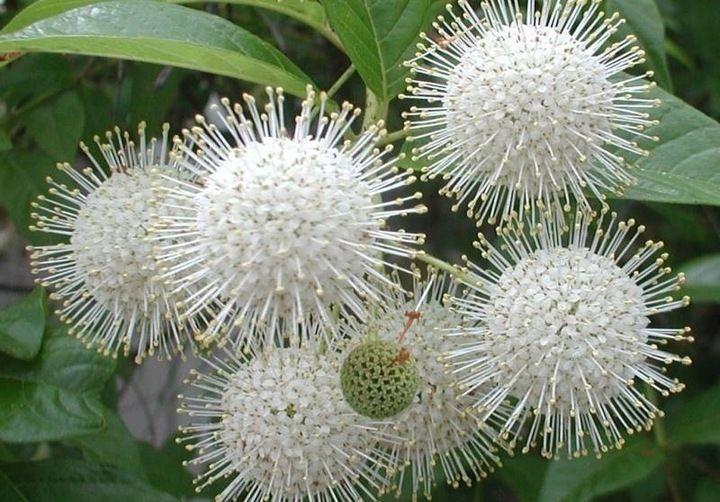Guzikowiec Zachodni Biale Kule Rarytas W Donicy Plants Flowers Dandelion