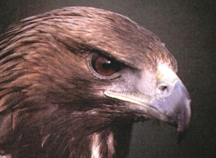 Abruzzese eagle