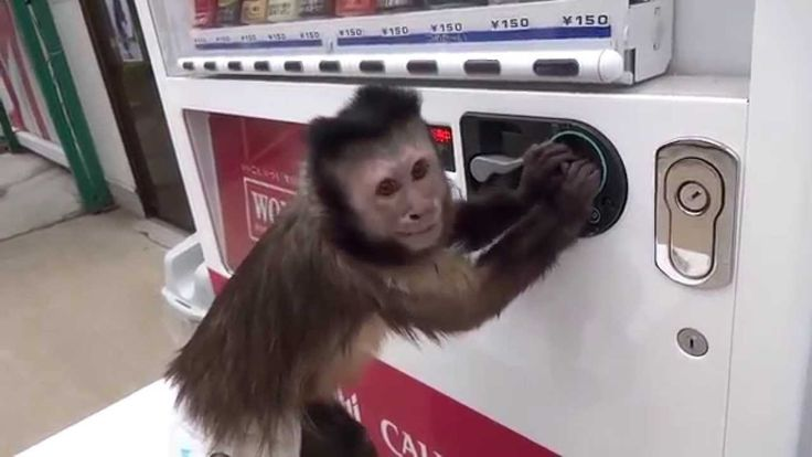 Capuchin Monkey Buys Himself a Drink From Vending Machine