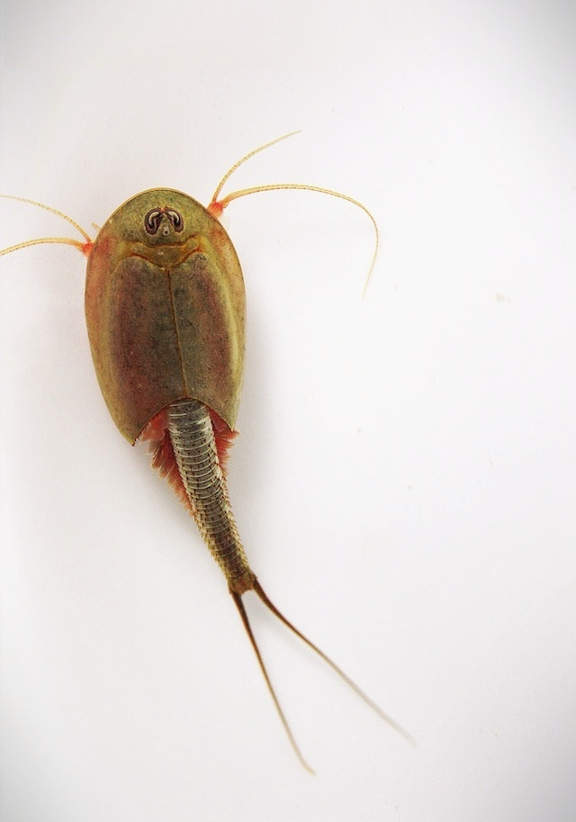 ... fair topic complete fairy shrimp guide shrimpery shrimpery see more