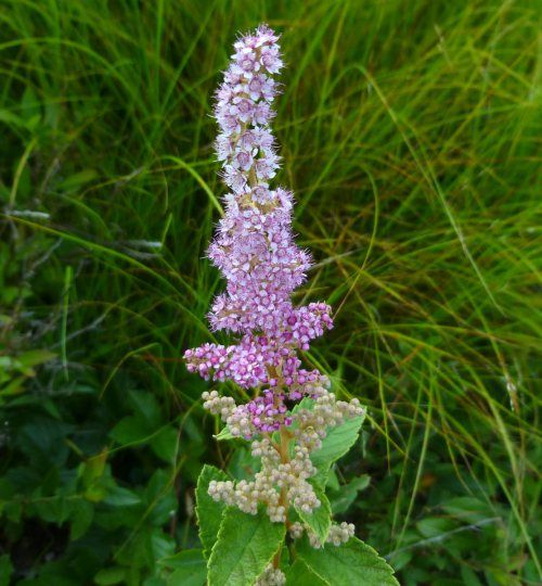 Native Ontario Plants: Steeplebush (Spiraea Tomentosa)