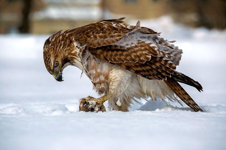 Hawk - null