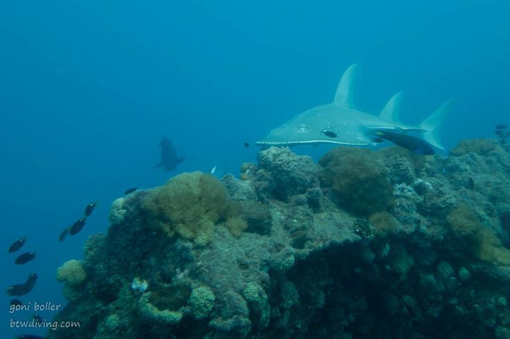 Guitar Shark at the Yongala Wreck close to Townsville, Australia