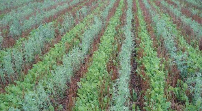 Современные фермеры привыкли пахать землю глубокой вспашкой, обрабатывать гербецидами от сорняков, но мало кому известно, что существует другой метод земледелия, который дает рекордные урожаи без насилия над землей. Без глубокой вспашки и без обработки гербецидами. Давайте посмотрим...