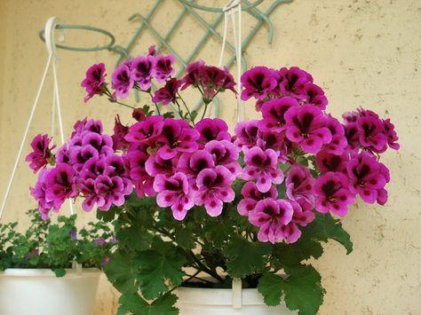 1 капля йода для обильного цветения герани! » Женский Мир