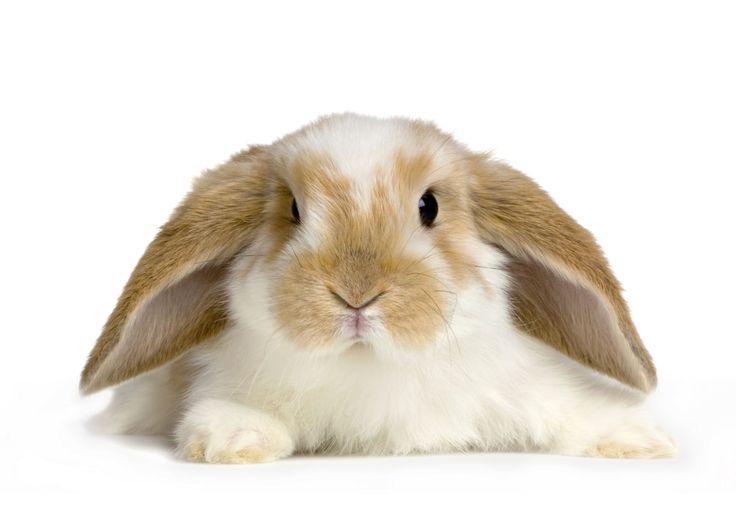 Como cuidar de um coelho de estimação