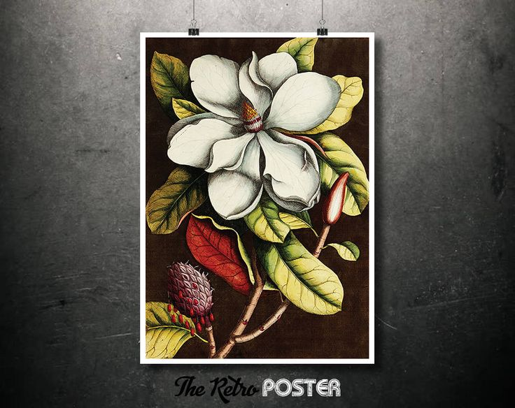 Magnolia Grandiflora - Mark Catesby and Georg Ehret - Plant, Plants, Plant Print, Nature Prints, Botanical Poster Vintage, Kitchen Gifts by TheRetroPoster on Etsy