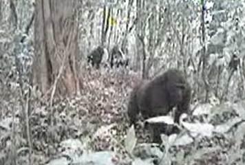 Cross River gorillas, gorilla video, rarest gorillas, endangered species, animal news, endangered species