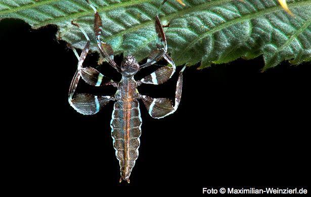 Da Ist Was Ausgeschlupft Fotografie Wandelndes Blatt Insekten