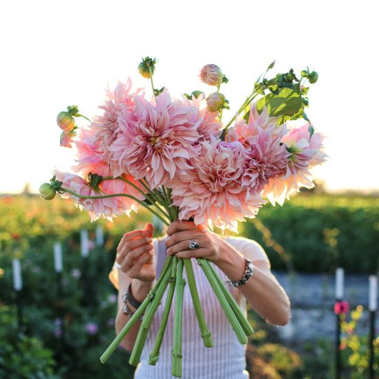 Cafe au lait:  the queen of dahlias. These massive dinner plate-sized blooms resemble pastel silk pillows. Popular with brides and wedding designers, flowers vary from blush pink to creamy ivory. Plants reach 4 to 5 feet tall. Dahlia tubers available from Floret.