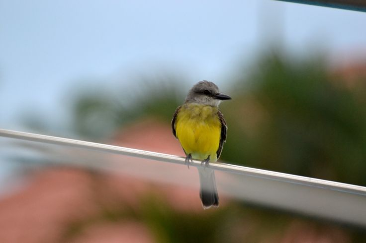 Bird in Arenillas - Province of El Oro. #ecuador  #birding #bird #birds #nature #yellow #travelimg #travel www.terrasenses.com