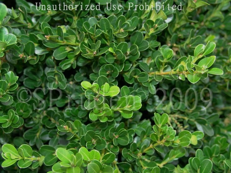 Common Boxwood, American Boxwood 'Cranberry Creek'  Buxus sempervirens Height: 24-36 in. (60-90 cm)  Spacing: 24-36 in. (60-90 cm)  Hardiness: USDA Zone 5a: to -28.8 °C (-20 °F)