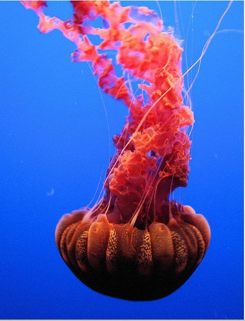 Black Sea Nettle is a giant jellyfish, with its bell measuring up to 1 m (3 ft) in size, and its oral arms extending up to 6 m (20 ft) in length.