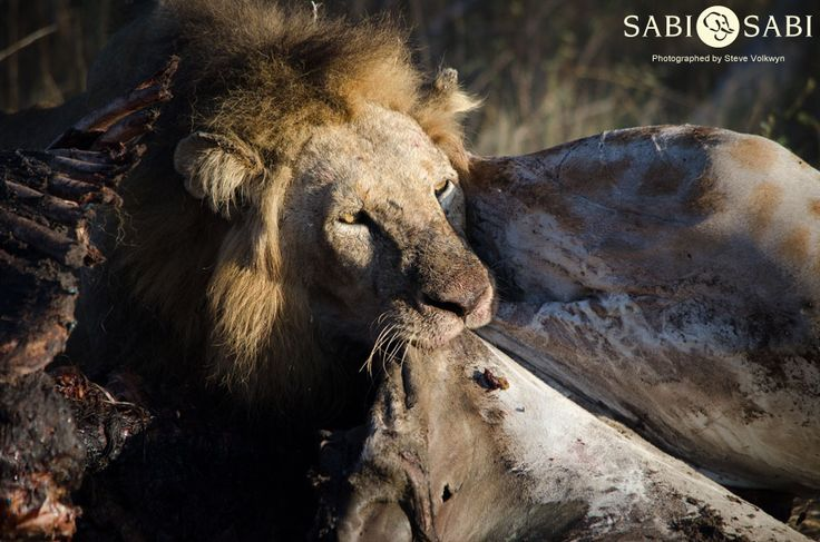 Two of the Sand River Males were feasting on a dead giraffe whilst the River Rocks Male was lurking around looking for an opportunity to feed.