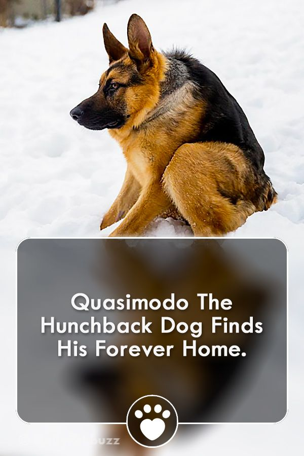Quasimodo The Hunchback Dog Finds His Forever Home Dogs Funny