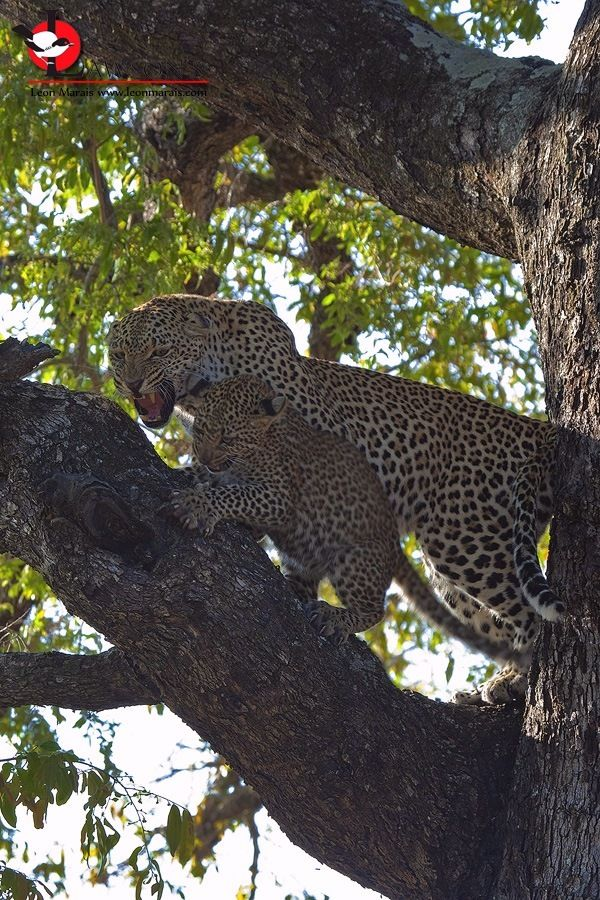 Uh-Oh, mom's pissed, big time: Leopards in action, #SabiSands