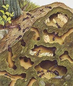 Ants: Clues to Human Development