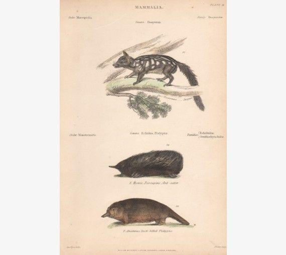 Dasyure Echidna Platypus engraving Pyne