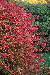 Click to view full-size photo of Winged Burning Bush (Euonymus alatus) at Jensen's Nursery & Landscaping