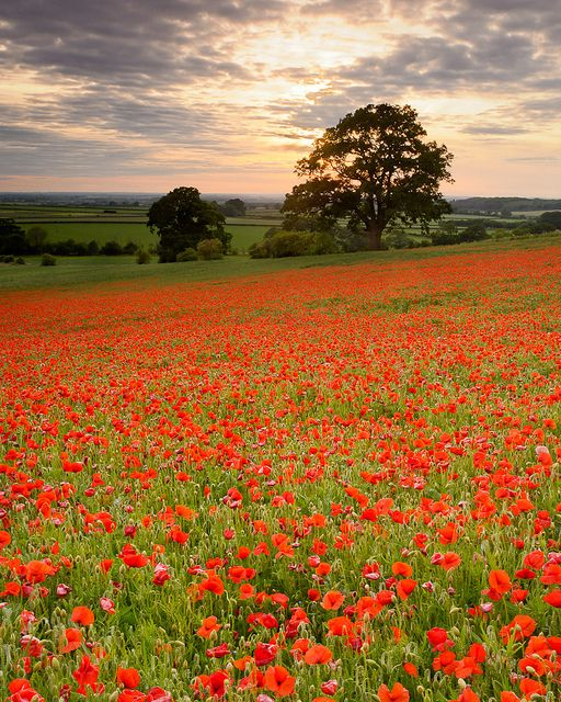 England...oh, what a gorgeous  field of poppies!    (photo by Joe Wright)