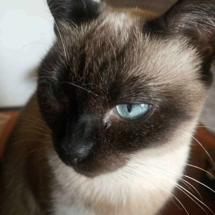 Mia's blue eyes #catsofinstagram #cats #siamesecat #blueeyecat #siameses
