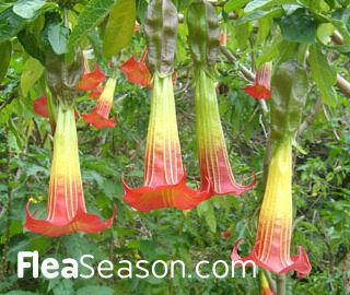 30 Poisonous Plants To Dogs And Cats Poisonous Plants Angel Trumpet Plant Brugmansia