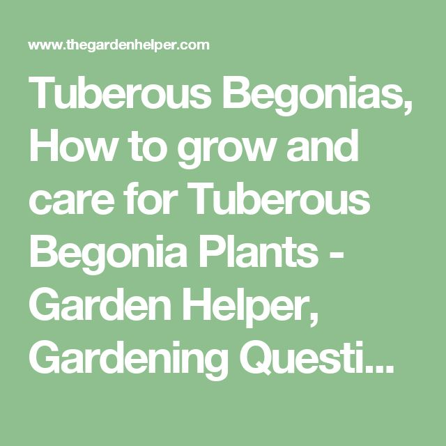 Tuberous Begonias, How to grow and care for Tuberous Begonia Plants - Garden Helper, Gardening Questions and Answers